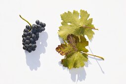 Red wine grapes, variety 'Domina'