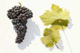 Red wine grapes, variety 'Heroldrebe'