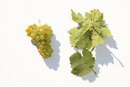 White wine grapes, variety 'Kerner'
