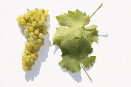 White wine grapes, variety 'Morio-Muskat'