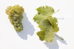 White wine grapes, variety 'Juwel'