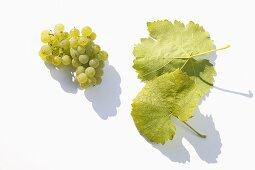 White wine grapes, variety 'Silcher'