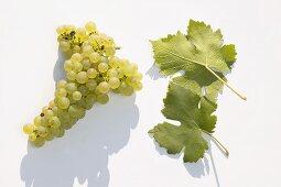 White wine grapes, variety 'Weisser Gutedel'