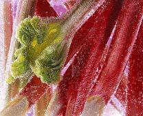 Rhubarb in water