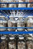 Jars of mushroom spores on shelves at a mushroom farm