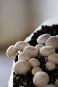 Mushroom cultivation (close up)