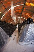 A tunnel filled with rows of plastic bags (mushroom farm, Mexico)