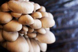 Oyster mushrooms on a mushroom farm