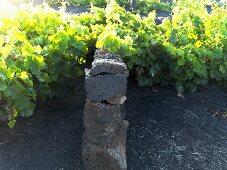 Vines, Lanzarote