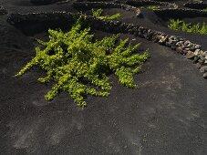 A vine growing on a lava flow, Lanzarote