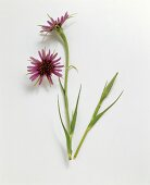 Salsify flowers