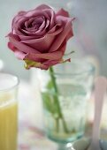 Pink rose in a glass of water