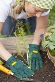 A woman planting fennel in a vegetable patch