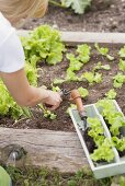 Lettuce being planted in a flower bed