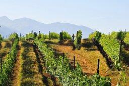 A vineyard in Asia