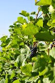 Red wine grapes on the vine (Asia)