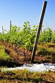 Vineyards being irrigated (Asia)