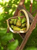 A basket with pears on a ladder