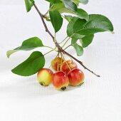 Branch of Japanese crab apples (Malus floribunda)