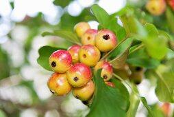 Japanese crab apples (Malus floribunda) on the tree