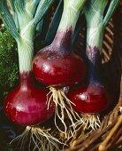 Onions, variety 'Red Brunswick'