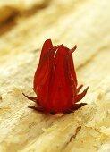Wild Rosella (australischen Hibiskusart)