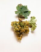 Silvaner grapes and vine leaves