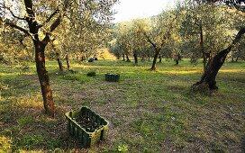 Olive harvest, Perugia, Umbria, Italy