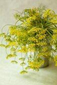 Flowering dill in a flower pot