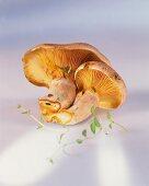 Two red pine mushroom