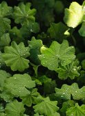 Green leaves with dewdrops