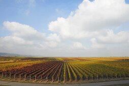 Autumn in a vineyard near Bad Dürkheim, Palatinate, Germany