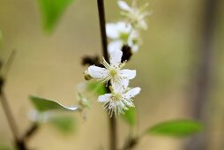 Surinam cherry blossom (Eugenia uniflora), also known as Pitanga
