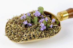 Ground ivy, fresh and dried (Glechoma hederacea) in scoop