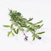 Sage 'Rosso Intenso' (Salvia greggii)
