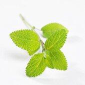Sage (Salvia haenkei)