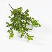 Sage (Salvia namaensis)