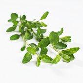 Sage (Salvia x jamensis)