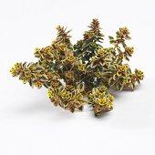 Thyme 'Aureus' (Thymus x citriodorus)