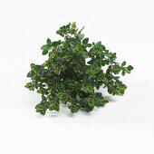 Thyme (Thymus x citriodorus)