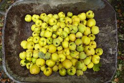 Wheel barrow with freshly picked quinces viewed from above