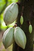 Cacao fruit on the tree, Mexico