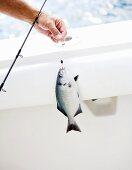 Man Holding Fresh Caught Fish on Fishing Pole
