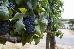 Grapes Growing at Laborie Vineyard, Paarl South Africa