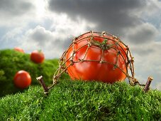 Tomato Under a Net on a Grassy Hill Against a Stormy Sky