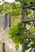 A wooden ladder against a fig tree in front of a Mediterranean stone house