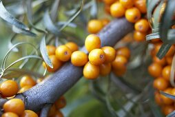 Sea buckthorn berries on branch (close-up)