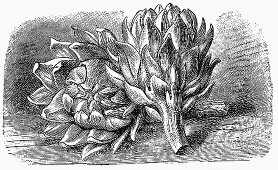 Artichokes (Illustration)