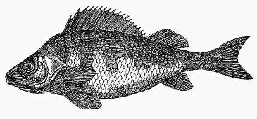 Perch (Illustration)