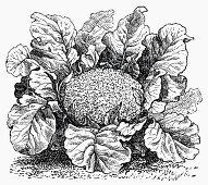 Cauliflower (Illustration)